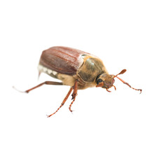 May Bug Or Cockchafer (Melolon...