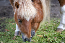 Shetland Ponies Grazing On Gre...