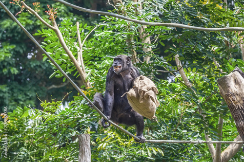 Foto op Plexiglas Aap Chimpanzee on rope with bag in her hands