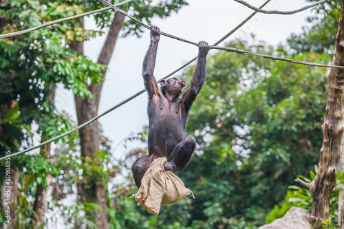 Photo Chimpanzee on rope with bag in her hands