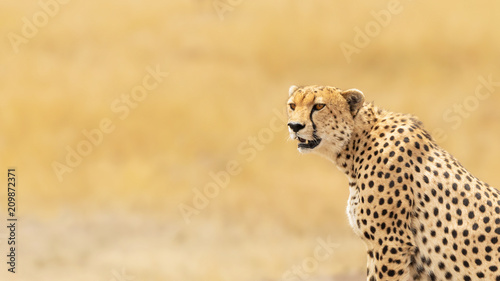Young adult cheetah banner