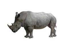 Closed Up Of Rhino Animal Isolated On White Background.