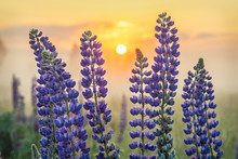 Lupin Flowers With Rising Sun On Background