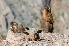 Marmot Resting On Rock At The ...