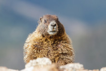 Marmot Resting On Rock At The Top Of Mount Evans, Colorado