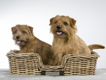 Two Norfolk Terrier Dogs In A ...