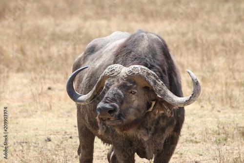 Staande foto Buffel サバンナのバッファロー