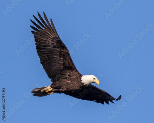 Deurstickers Eagle Bald Eagle Flying