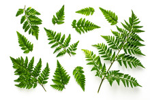 Collection Of Green Fern Leave...