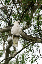 Sulphur-crested Cockatoo In Th...