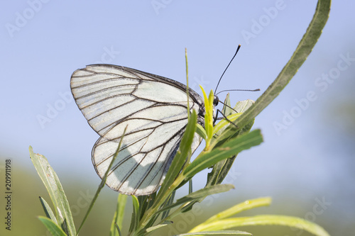 Butterfly Aporia crataegi Canvas Print