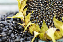 Harvested Sunflower Head And Seeds On Wooden Rustic Table