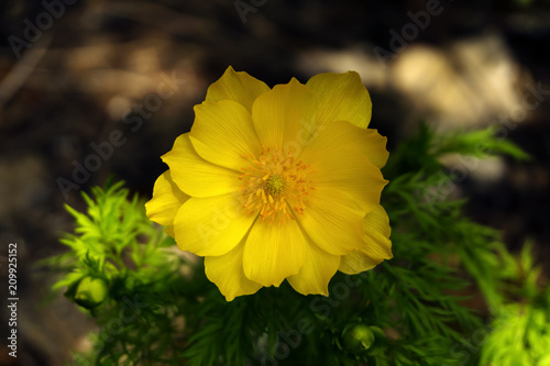Photo close-up of a beautiful yellow adonis flower on a blurred shady background