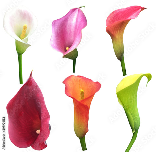 Poster  Calla Lilly Collection