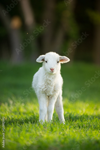 Canvastavla cute little lamb on fresh green meadow