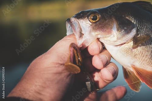Fotobehang Vissen Beautiful perch in fisherman hands.