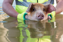 Funny Farmer In Santa Claus Hat, Sunglasses, Reflective Jacket With Clean Green Gloves, Is Bathed Piglet In Swimming Pool. Happy Swine Swims. 2019 Year Of The Yellow Pig. Farm Holiday Time