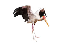 Yellow-billed Stork Isolated O...
