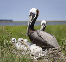 Brown Pelican Nest With Babies