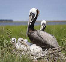 Brown Pelican Nest With Babies