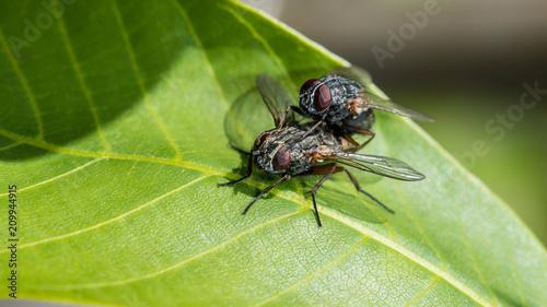 Aluminium Prints Bee Zwei Fliegen bei der Paarung