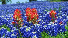 Beautiful Field Of Texas Bluebonnets And Indian Paintbrush In The Spring