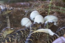 Newborn Alligator Near The Egg Laying In The Nest. Little Baby Crocodiles Are Hatching From Eggs. Baby Alligator Just Hatched From Egg. Alligator Hatchlings Emerge.