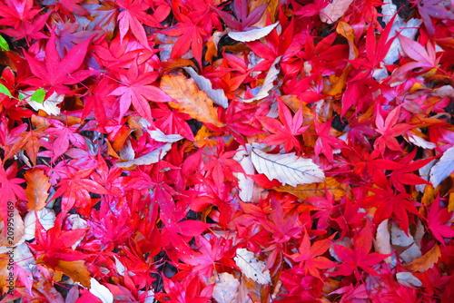Keuken foto achterwand Rood traf. 紅葉の公園の風景25