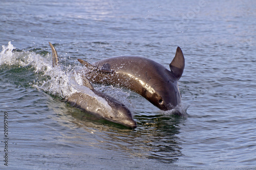 Mama and Baby Bottlenose Dolphins Play Together in Boat Wake