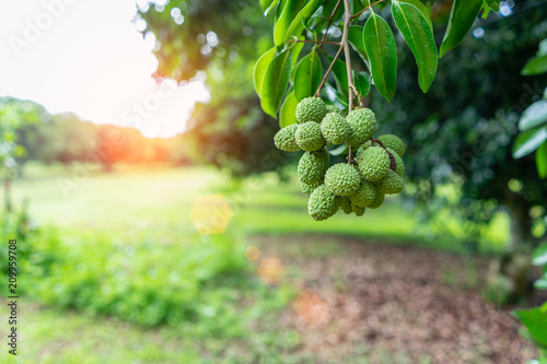 Unripe green lychee hanging from the tree in orchard.