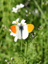 The Orange Tip Butterfly Antho...