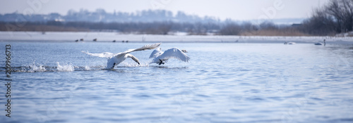 Two male swans