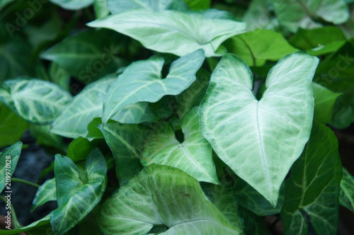 Photo Syngonium podophyllum or  arrowhead green plant