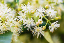Blossoming Linden Branch With ...