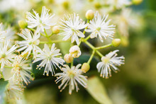 Blossoming Linden Branch In Summer. Natural Background, Closeup, Selective Focus