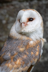A close up portrait of a barn owl toto alba looking up towards the sky in an upright vertical format