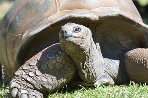 Fotografie, Obraz  Tortue géante d'Aldabra