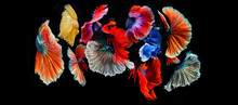 Fighting Fish, Halfmoon Betta Fish, Siamese Fighting Fish, Capture Moving Of Fish