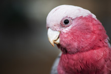 Large Pink And Grey Galah.