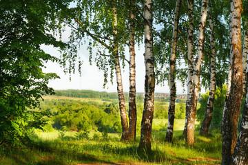 Obraz na Szkle Brzoza summer in sunny birch forest