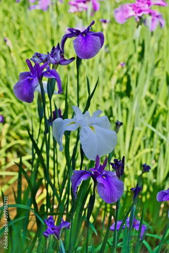 Spoed Foto op Canvas Iris Iris ensata var. ensata (Hana shoubu)