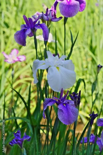 Staande foto Iris Iris ensata var. ensata (Hana shoubu)