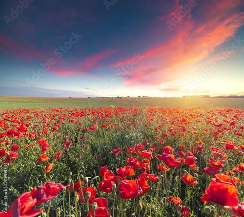 Recess Fitting Orange Glow Wunderful poppy field in late may