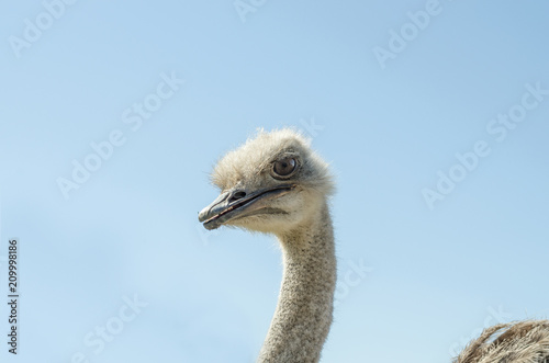 Staande foto Struisvogel Domesticated wild african ostrich (struthio camelus) in an aviary on a ostrich farm. Against a clear blue sky.