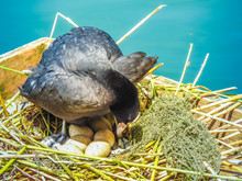 A Coot On Its Nest Tending To ...