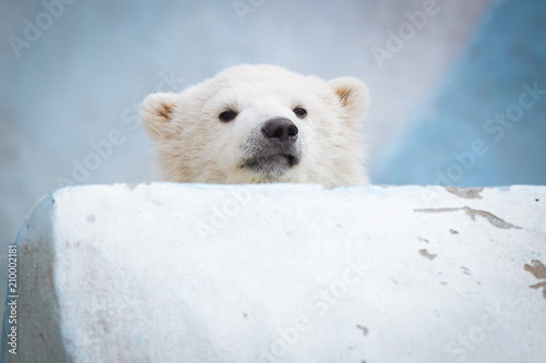 Photo sur Toile Ours Blanc Funny polar bear cub