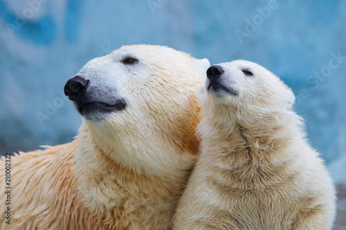 Poster Polar bear Polar bear with cub