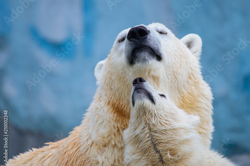 Spoed Fotobehang Ijsbeer Polar bear with cub