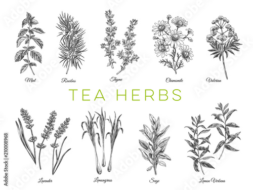 Obraz Beautiful vector hand drawn tea herbs Illustrations.  - fototapety do salonu