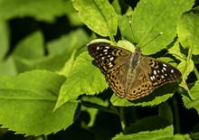 Hackberry Emperor Butterfly.